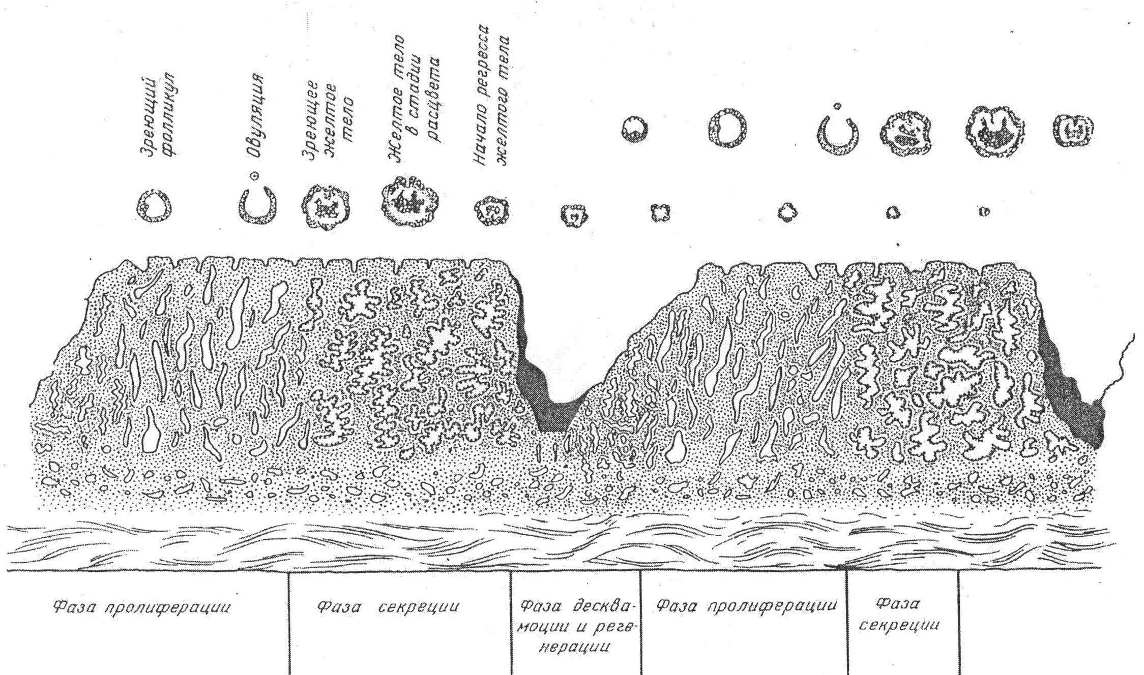 Эндометрий по дням цикла нормы толщины
