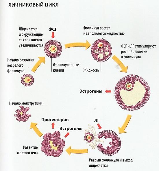 цикл яйцеклетки